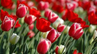 Nature red flowers tulips wallpaper