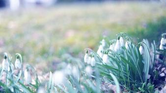 Snowdrops white flowers wallpaper