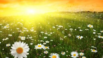 Sun daisy flowers nature wallpaper