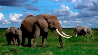 Animals baby elephant elephants nature Wallpaper