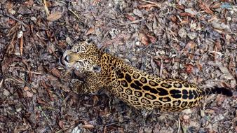 Animals camouflage fallen leaves jaguars looking up Wallpaper