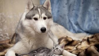 Animals cats dogs husky kittens Wallpaper