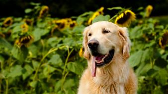 Animals dogs golden retriever pets sunflowers Wallpaper