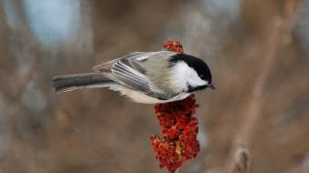 Chickadee birds macro nature wallpaper