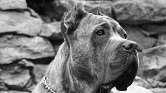 Mastiff animals cane corso dogs grayscale Wallpaper