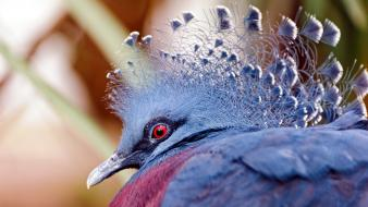 Victoria crowned pigeon birds feathers nature red eyes wallpaper