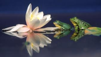 Amphibians frogs lily pads water lilies wallpaper