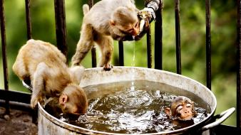 Animals bathing drinking funny monkeys wallpaper
