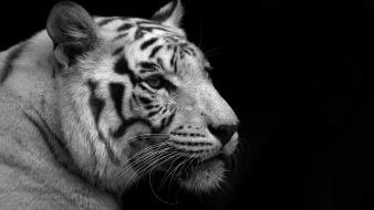 Animals cats feline greyscale monochrome Wallpaper