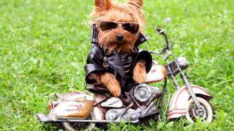 Animals dogs funny grass motorbikes Wallpaper