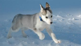 Animals dogs husky nature puppies wallpaper