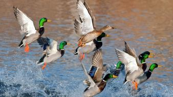 Birds ducks lakes mallard nature Wallpaper