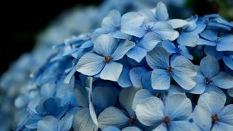 Blue bokeh flowers hydrangea macro Wallpaper