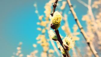 Buds macro spring Wallpaper