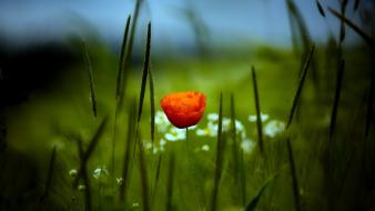 Flowers grass macro poppies Wallpaper