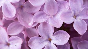 Flowers lilac nature plants purple Wallpaper