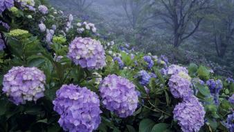 Japan flowers hydrangea parks wallpaper
