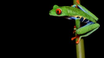 Redeyed tree frog amphibians frogs wallpaper