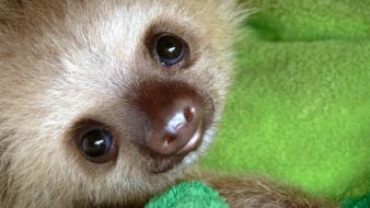 Animals baby nature sloth Wallpaper