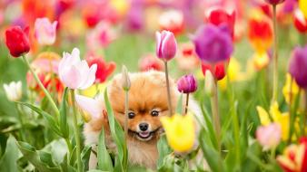 Animals dogs fields flowers tulips wallpaper