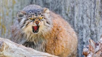 Animals angry wildcat manul Wallpaper