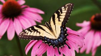 Animals insects purple butterflies wallpaper