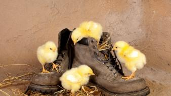 Boots chickens chicks (chickens) baby birds wallpaper
