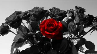 Flowers red rose black roses Wallpaper