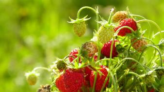 Green nature fruits strawberries wallpaper