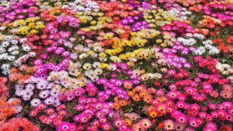 Japan nature red white flowers yellow pink daisies wallpaper