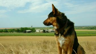 Landscapes nature animals dogs german shepherd pets wallpaper