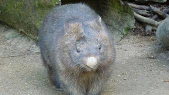 Nature animals australia wombat Wallpaper