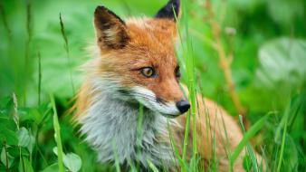 Nature animals grass mammals foxes Wallpaper