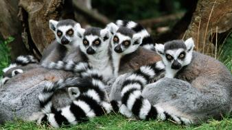 Nature animals ring-tailed lemurs wallpaper