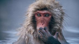 Nature animals snow monkey japanese macaque Wallpaper