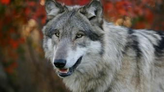 Nature autumn (season) animals gray wolf wolves wallpaper
