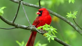 Nature birds animals northern cardinal wallpaper