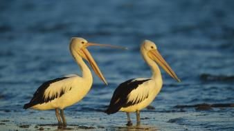 Nature birds animals sydney australia australian pelican sea wallpaper