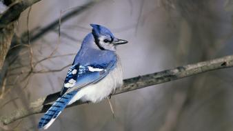 Nature birds blue jay wallpaper