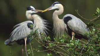 Nature birds florida herons great wallpaper