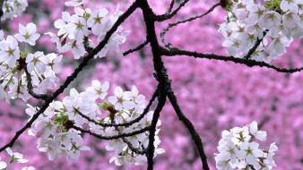 Nature cherry blossoms trees spring (season) Wallpaper