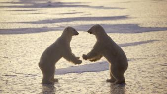 Nature fighting animals canada polar bears wallpaper