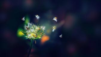 Nature flowers plants dandelions seeds flower petals wallpaper