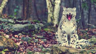 Nature forest animals snow leopards laughing Wallpaper
