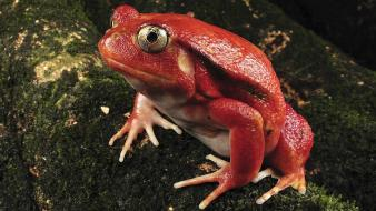 Nature madagascar frogs tomato rare amphibians wallpaper