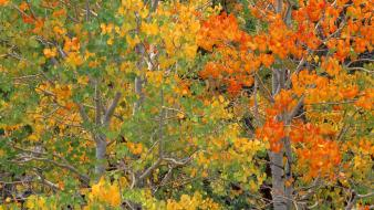 Nature trees autumn (season) california aspen wallpaper