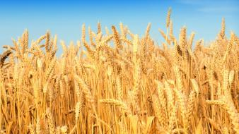 Nature wheat crop wallpaper