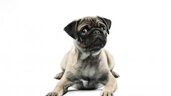 Animals dogs pugs simple background white wallpaper