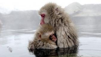 Animals monkeys baby hugging japanese macaque wallpaper