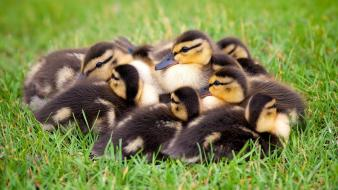 Ducks duckling baby birds wallpaper